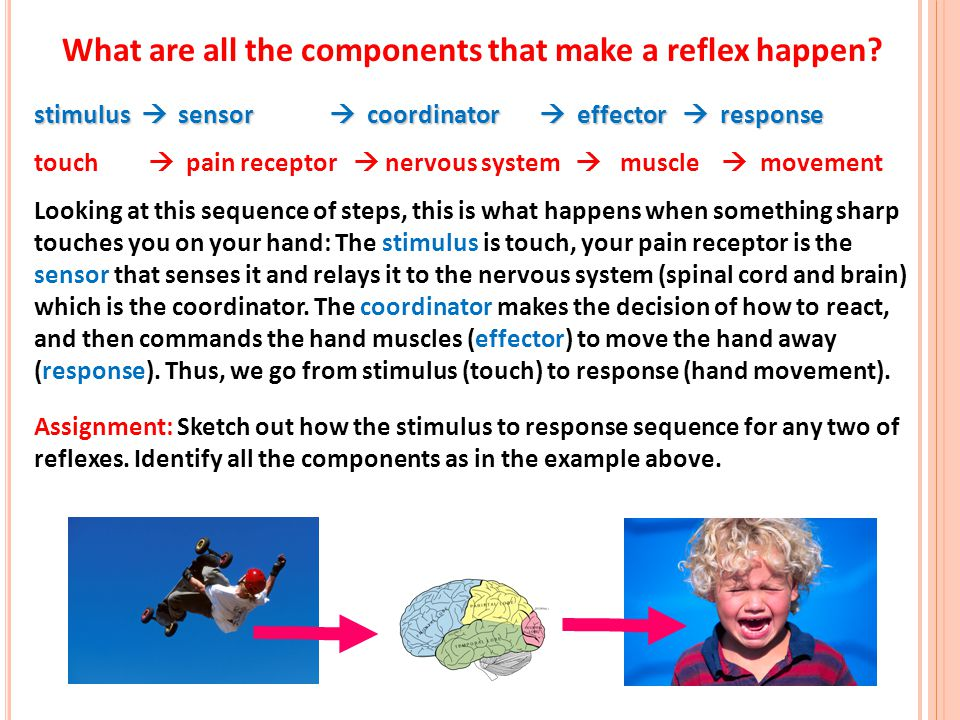 13 stimulus sensor coordinator effector response touch pain receptor nervous system muscle movement Looking at this sequence of steps, this is what ha