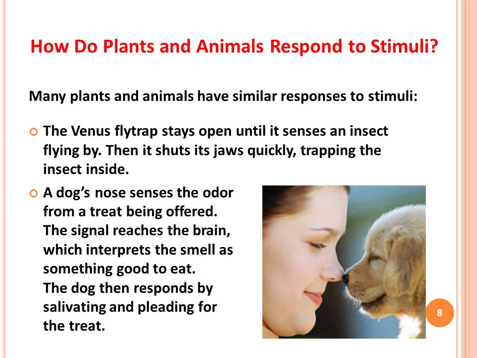 Many plants and animals have similar responses to stimuli: The Venus flytrap stays open until it senses an insect flying by. Then it shuts its jaws qu