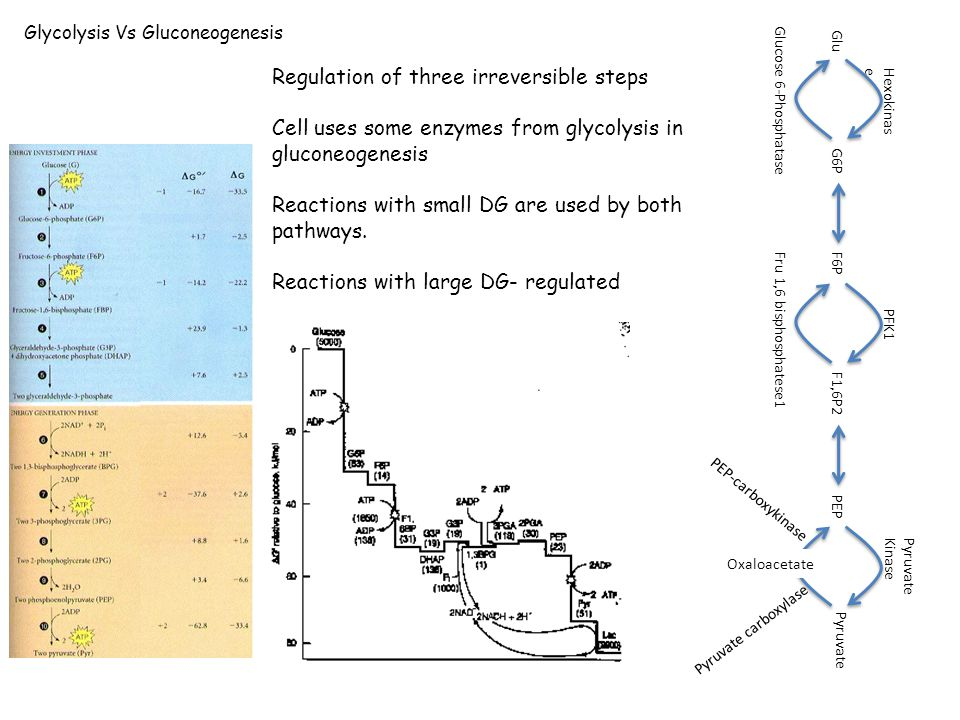 Glycolysis Vs Gluconeogenesis Regulation of three irreversible steps Cell uses some enzymes from glycolysis in gluconeogenesis Reactions with small DG