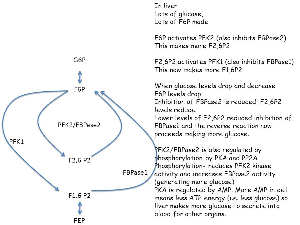G6P F6P F1,6 P2 F2,6 P2 PFK1 FBPase1 PFK2/FBPase2 PEP In liver Lots of glucose, Lots of F6P made F6P activates PFK2 (also inhibits FBPase2) This makes