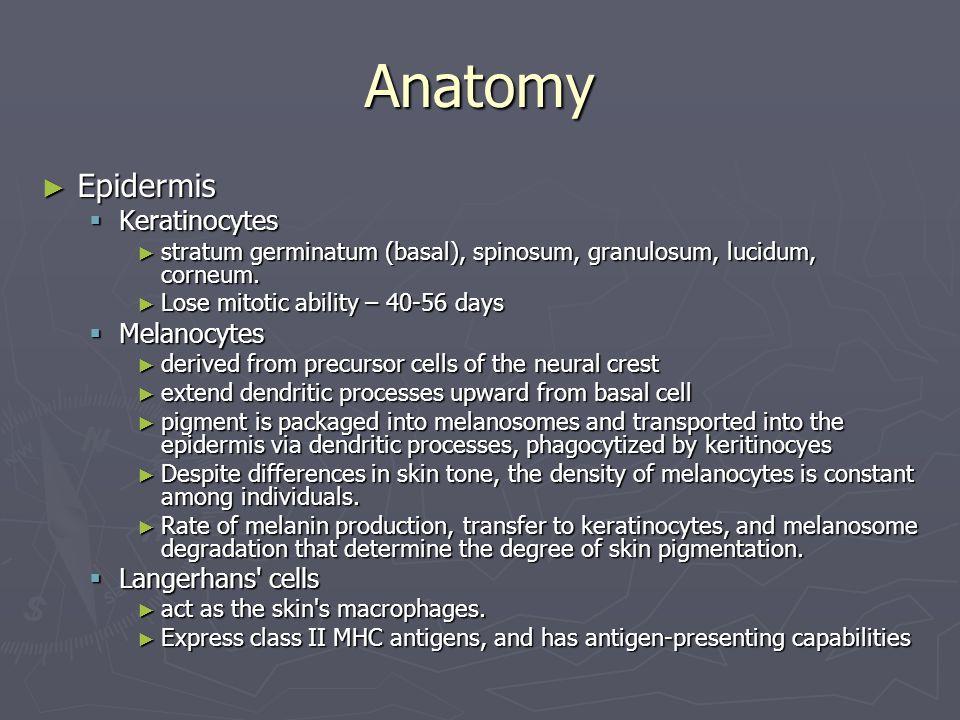 Anatomy Epidermis Epidermis Keratinocytes Keratinocytes stratum germinatum (basal), spinosum, granulosum, lucidum, corneum. stratum germinatum (basal)
