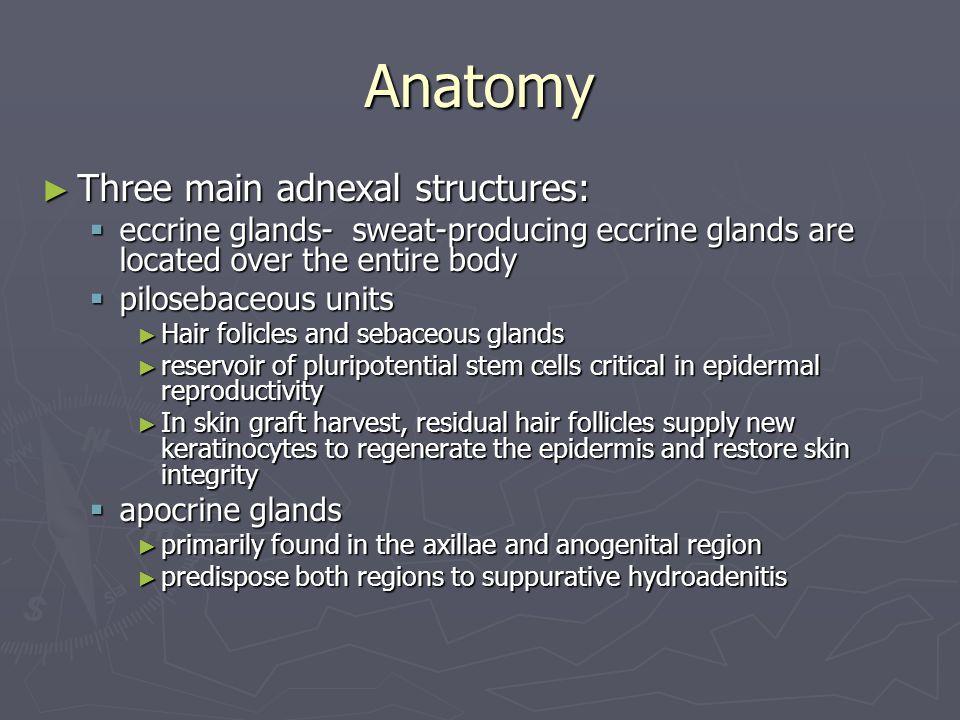 Anatomy Three main adnexal structures: Three main adnexal structures: eccrine glands- sweat-producing eccrine glands are located over the entire body
