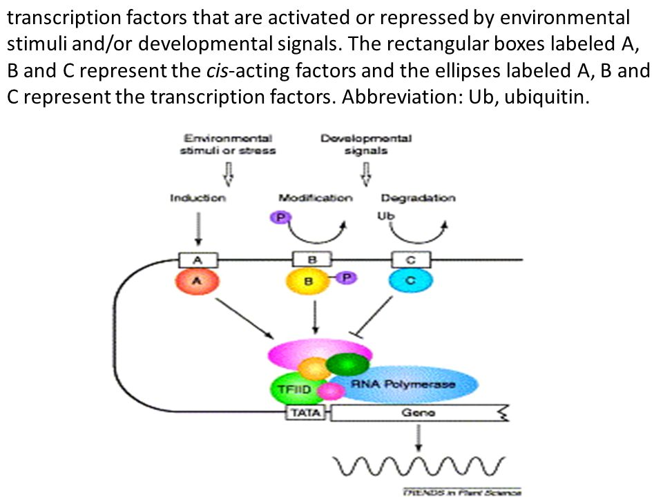 transcriptional stop signal Each transgene must also contain a transcriptional stop signal to match the start signal typically included in the promoter.