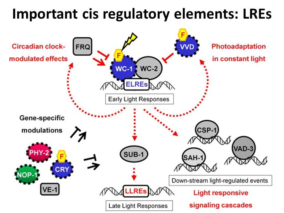 Important cis regulatory elements: LREs