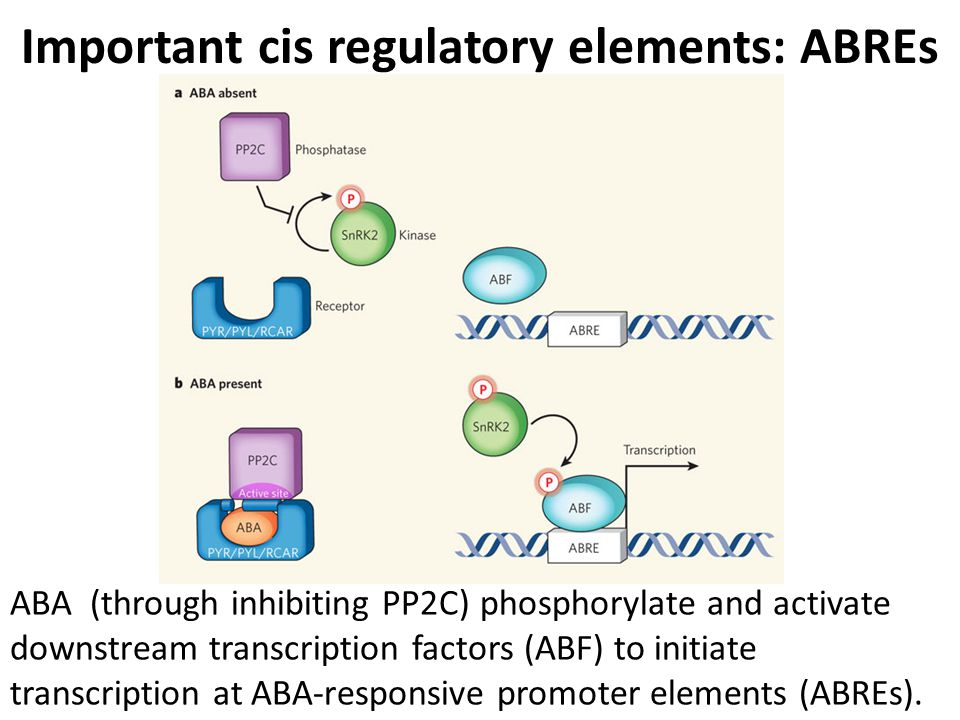 Important cis regulatory elements: ABREs ABA (through inhibiting PP2C) phosphorylate and activate downstream transcription factors (ABF) to initiate t