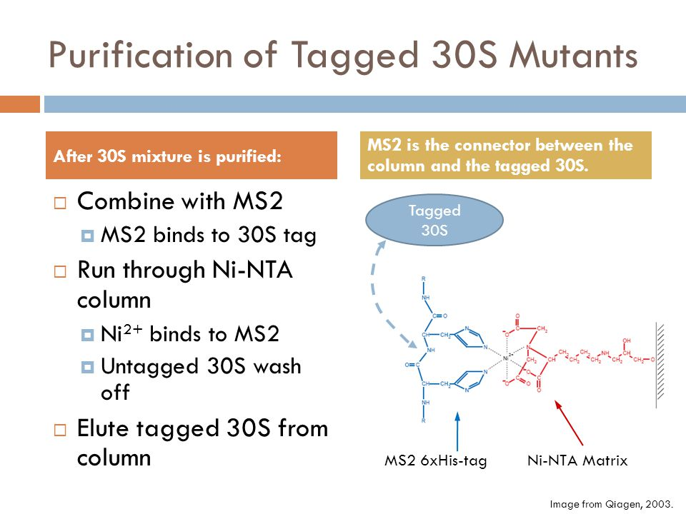 Purification of Tagged 30S Mutants Combine with MS2 MS2 binds to 30S tag Run through Ni-NTA column Ni 2+ binds to MS2 Untagged 30S wash off Elute tagged 30S from column After 30S mixture is purified: MS2 is the connector between the column and the tagged 30S.