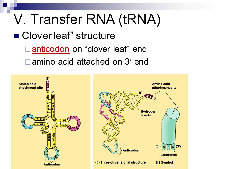 V. Transfer RNA (tRNA) Clover leaf structure anticodon on clover leaf end amino acid attached on 3 end