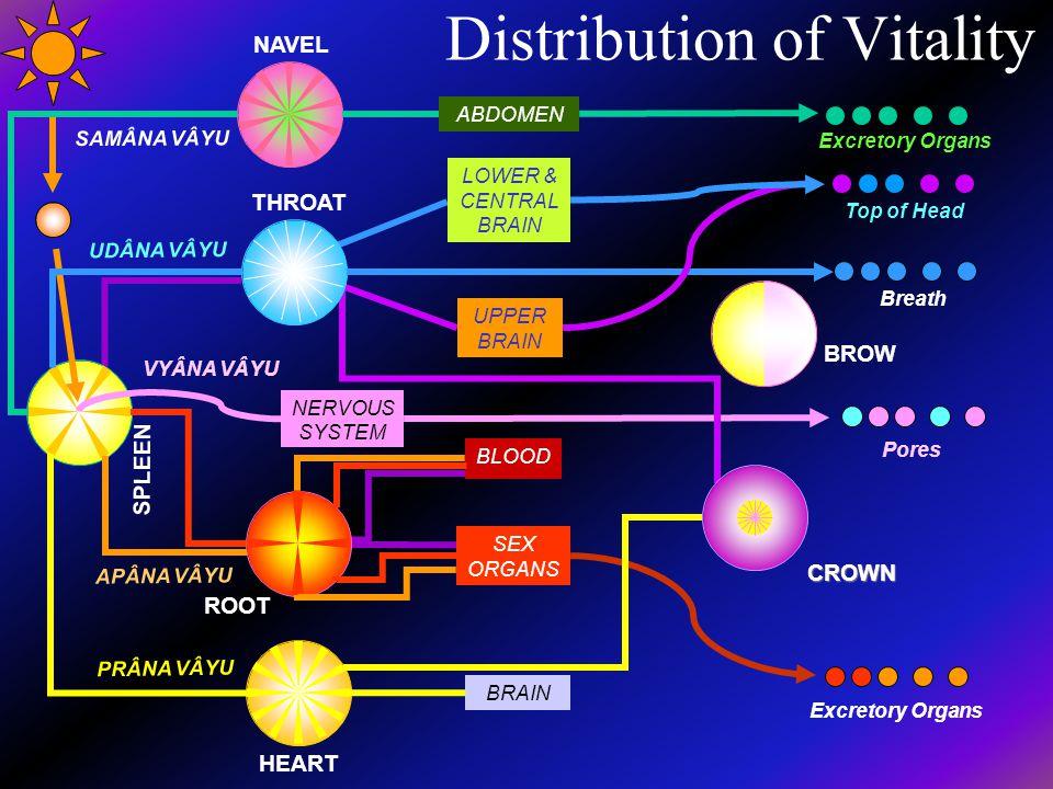 Distribution of Vitality NERVOUS SYSTEM SEX ORGANS BLOOD BRAIN ABDOMEN ROOT SPLEEN HEART NAVEL BROW CROWN THROAT UPPER BRAIN LOWER & CENTRAL BRAIN Por