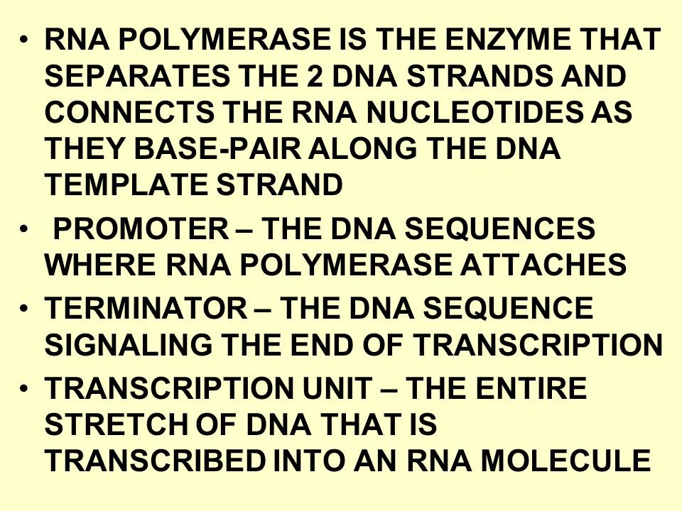 RNA POLYMERASE IS THE ENZYME THAT SEPARATES THE 2 DNA STRANDS AND CONNECTS THE RNA NUCLEOTIDES AS THEY BASE-PAIR ALONG THE DNA TEMPLATE STRAND PROMOTE