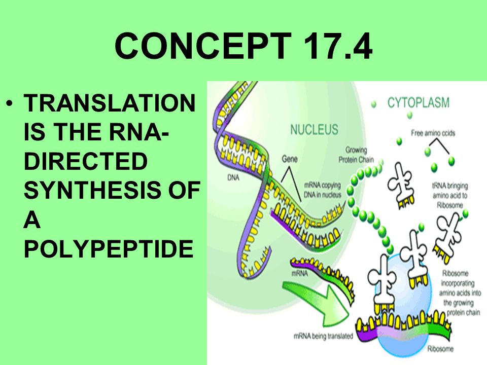 CONCEPT 17.4 TRANSLATION IS THE RNA- DIRECTED SYNTHESIS OF A POLYPEPTIDE
