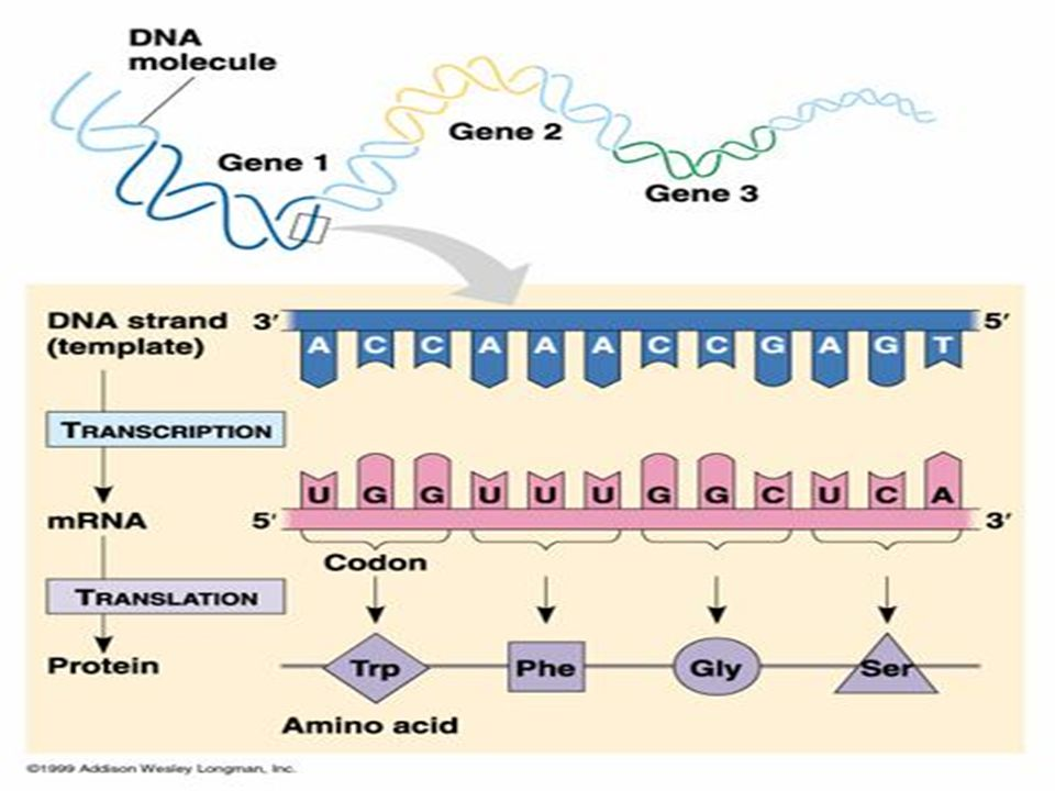 TRANSLATION IS THE PRODUCTION OF A POLYPEPTIDE CHAIN USING THE mRNA TRANSCRIPT AND OCCURS AT THE RIBOSOMES INSTRUCTIONS FOR BUILDING THE POLYPEPTIDE CHAIN ARE WRITTEN IN A SERIES OF 3 NUCLEOTIDES CALLED A TRIPLET CODE (ANTICODON)