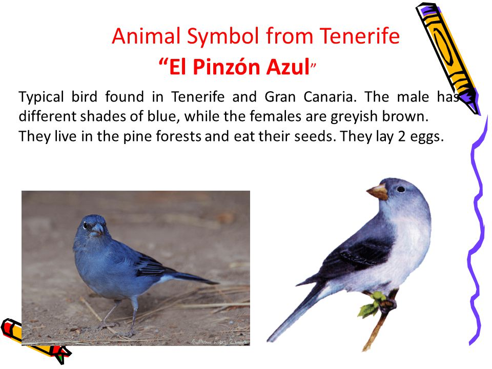 Animal Symbol from Tenerife El Pinzón Azul Typical bird found in Tenerife and Gran Canaria.