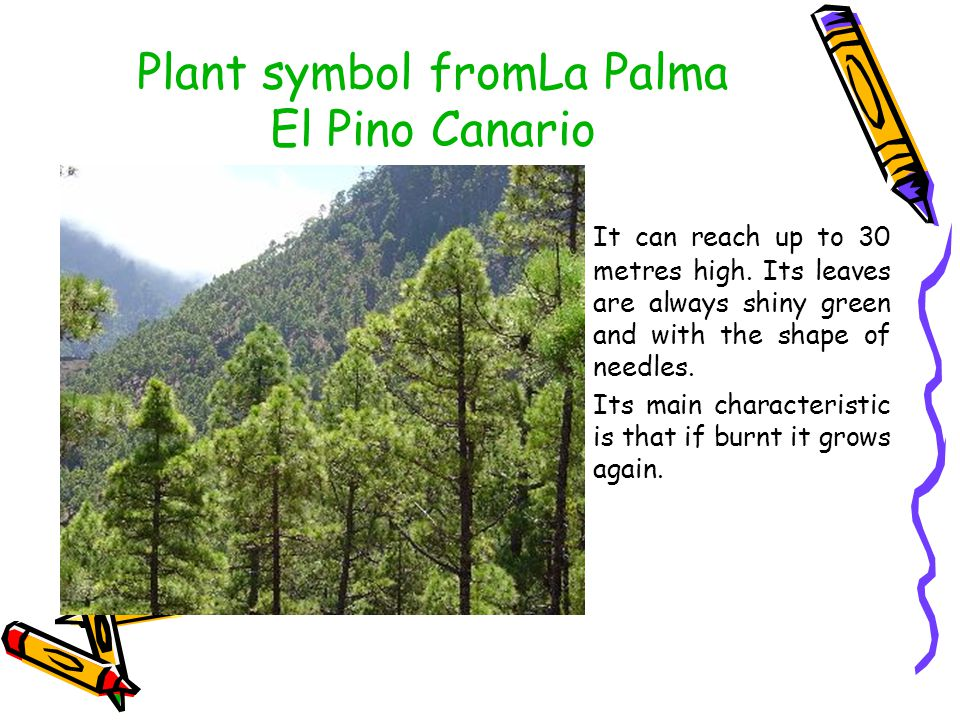 Plant symbol fromLa Palma El Pino Canario It can reach up to 30 metres high.