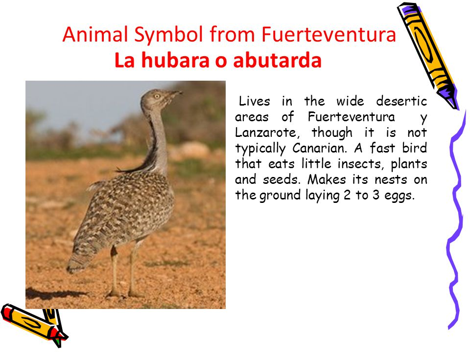Lives in the wide desertic areas of Fuerteventura y Lanzarote, though it is not typically Canarian.