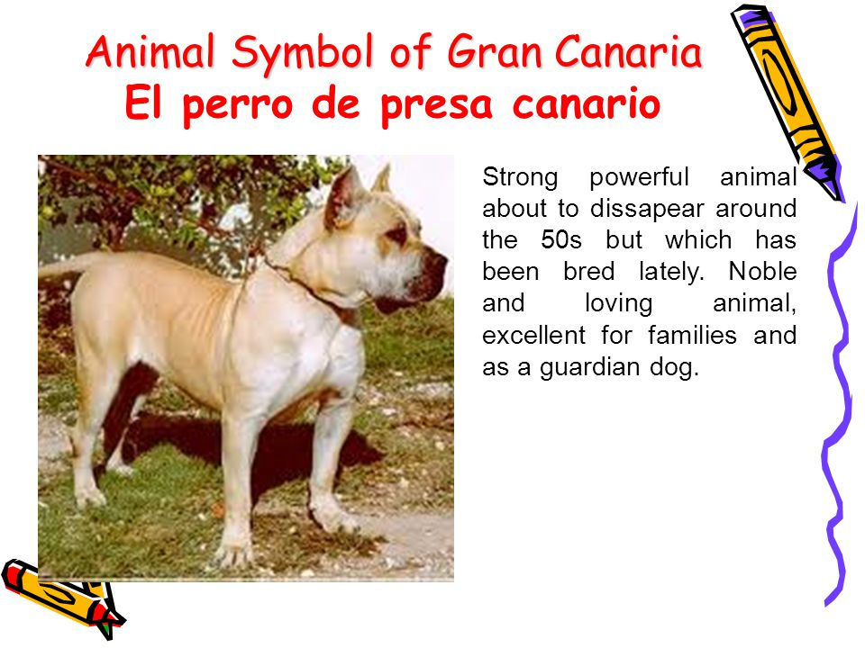 Animal Symbol of Gran Canaria Animal Symbol of Gran Canaria El perro de presa canario Strong powerful animal about to dissapear around the 50s but which has been bred lately.