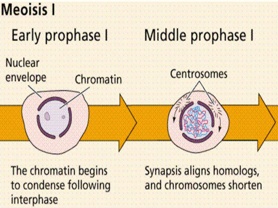 Formation of Gametes Meiosis only occurs in the reproductive cells…all other cells undergo mitosis Ending products of meiosis are haploid gametes –Eggs in female - oogenesis –Sperm in male - spermatogenesis Fusion of sperm and egg results in a diploid cell