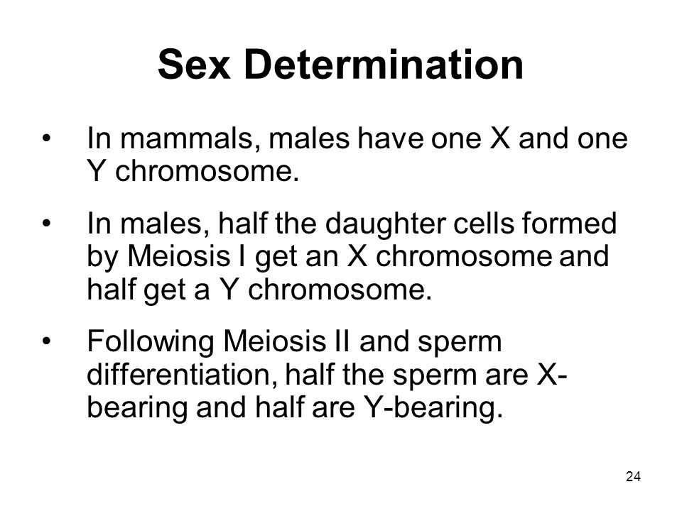 24 Sex Determination In mammals, males have one X and one Y chromosome. In males, half the daughter cells formed by Meiosis I get an X chromosome and