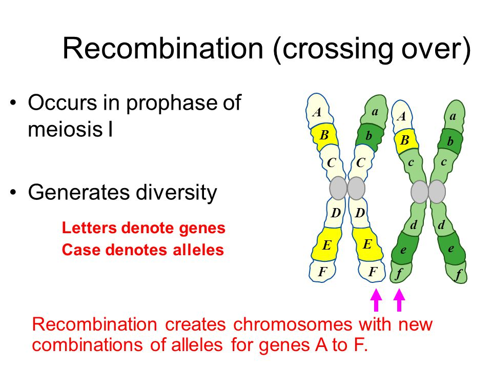 Occurs in prophase of meiosis I Generates diversity Letters denote genes Case denotes alleles A B C D E F a b c d e f c d e f A B a b C D E F Recombin