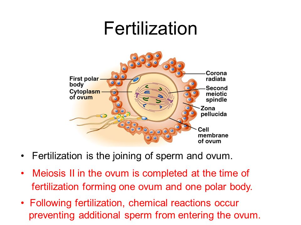Fertilization is the joining of sperm and ovum. Meiosis II in the ovum is completed at the time of fertilization forming one ovum and one polar body.