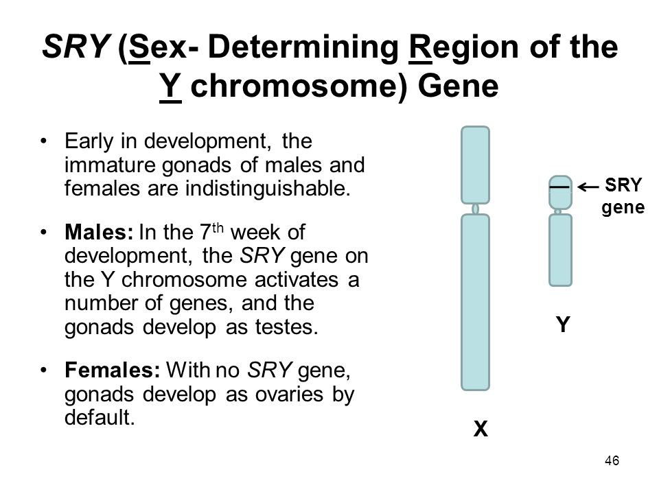 46 SRY (Sex- Determining Region of the Y chromosome) Gene Early in development, the immature gonads of males and females are indistinguishable. Males: