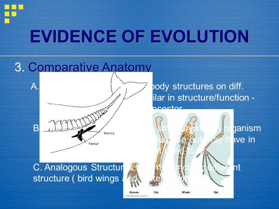 EVIDENCE OF EVOLUTION 3. Comparative Anatomy A. Homologous Structures = body structures on diff. organisms that are similar in structure/function - ev