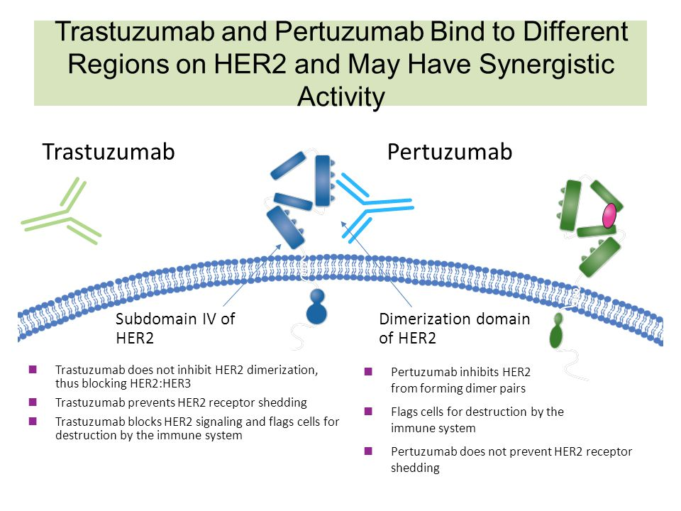 Trastuzumab and Pertuzumab Bind to Different Regions on HER2 and May Have Synergistic Activity HER2 TrastuzumabPertuzumab Subdomain IV of HER2 Trastuz