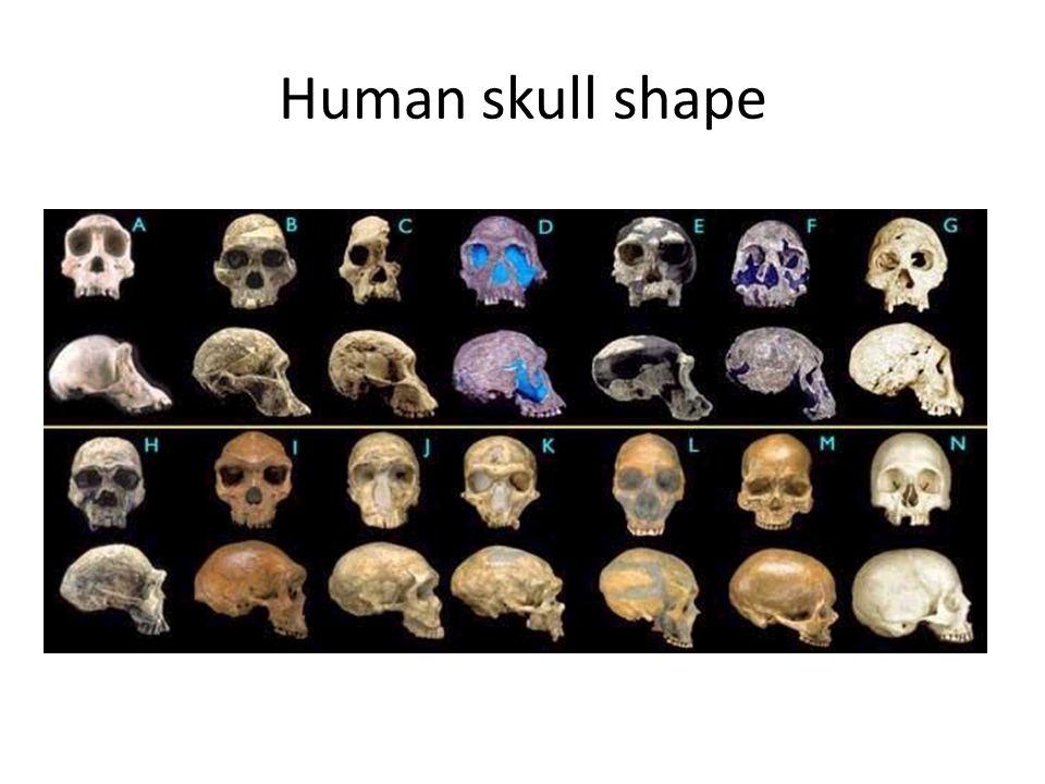 Human skull shape