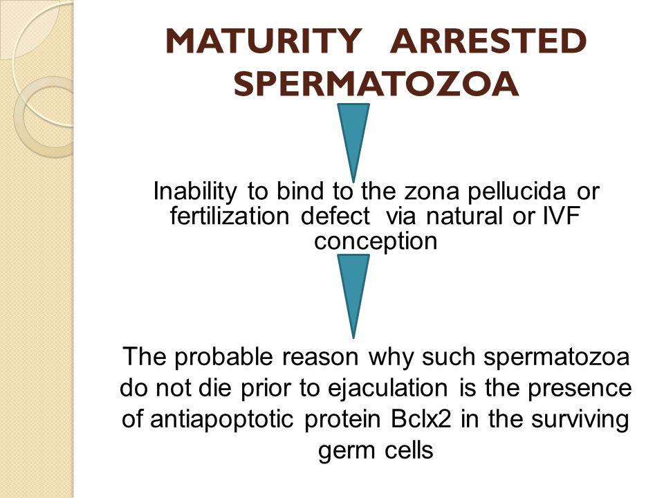MATURITY ARRESTED SPERMATOZOA Inability to bind to the zona pellucida or fertilization defect via natural or IVF conception The probable reason why su