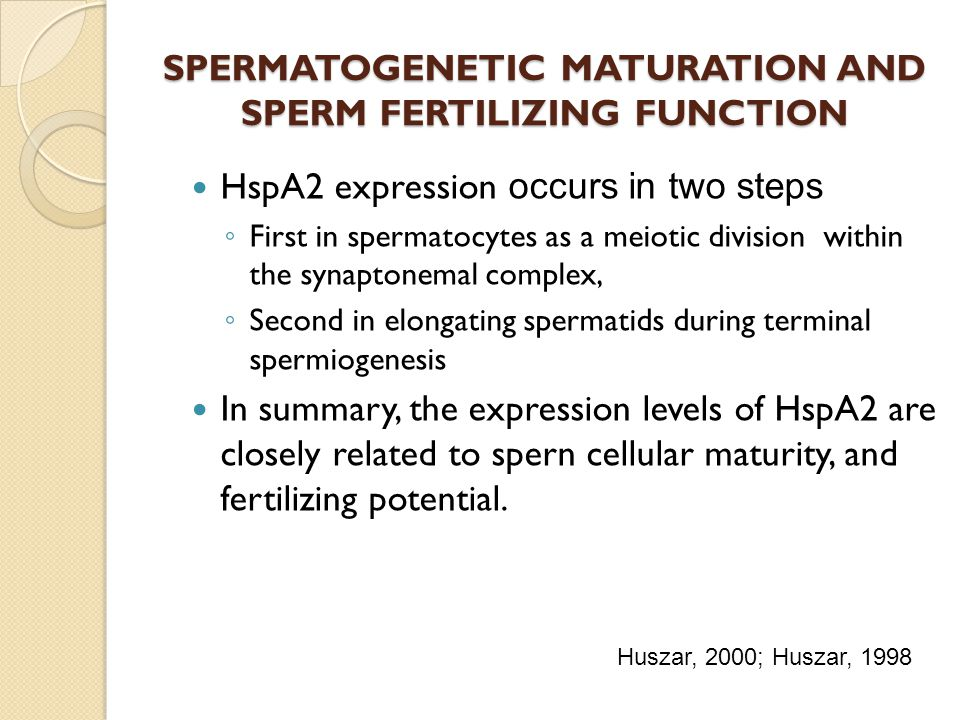 SPERMATOGENETIC MATURATION AND SPERM FERTILIZING FUNCTION HspA2 expression occurs in two steps First in spermatocytes as a meiotic division within the