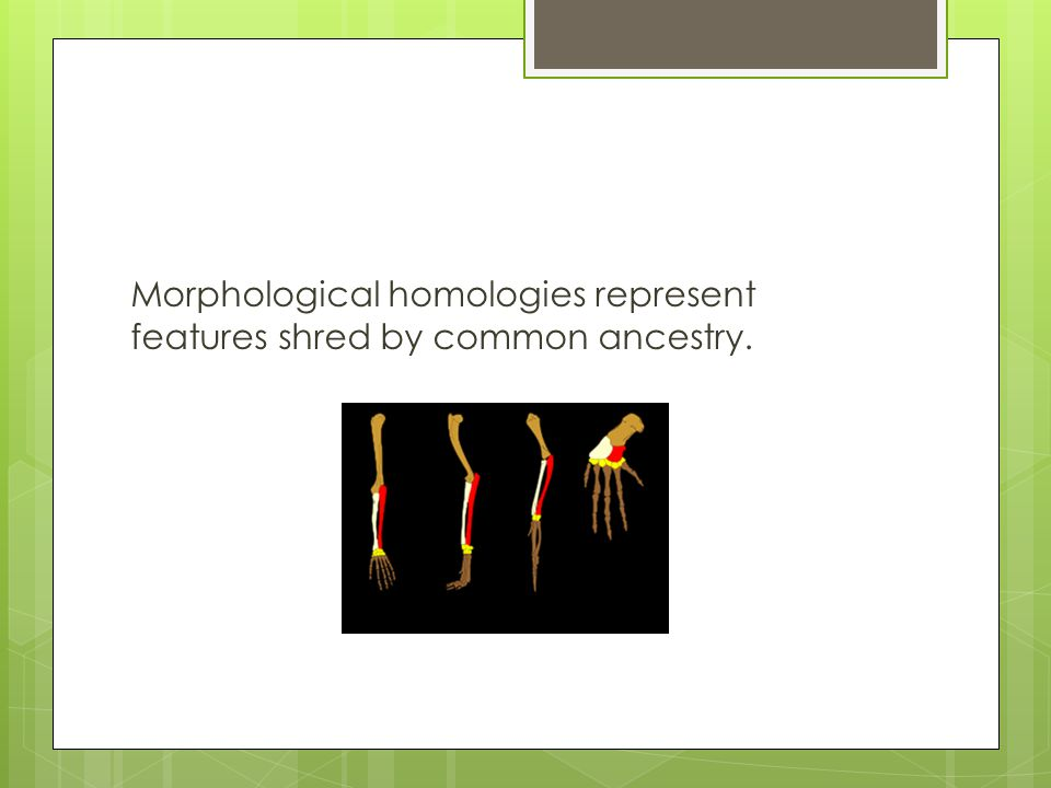 Morphological homologies represent features shred by common ancestry.