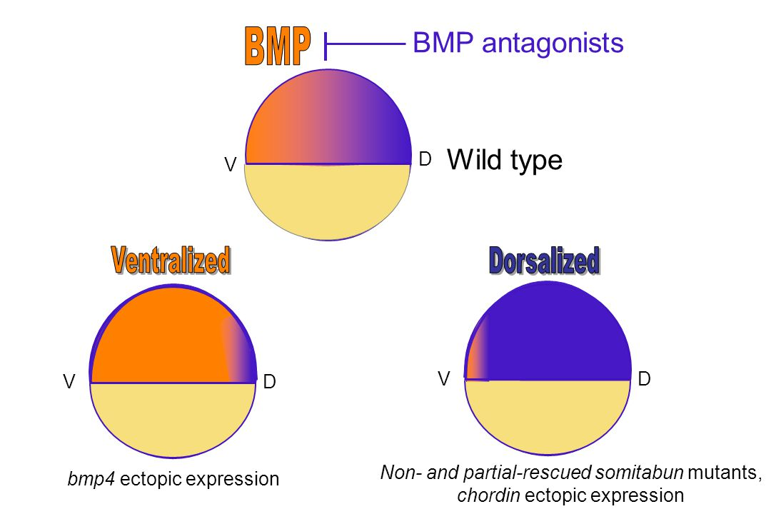 D V DV Wild type BMP antagonists DV Non- and partial-rescued somitabun mutants, chordin ectopic expression bmp4 ectopic expression