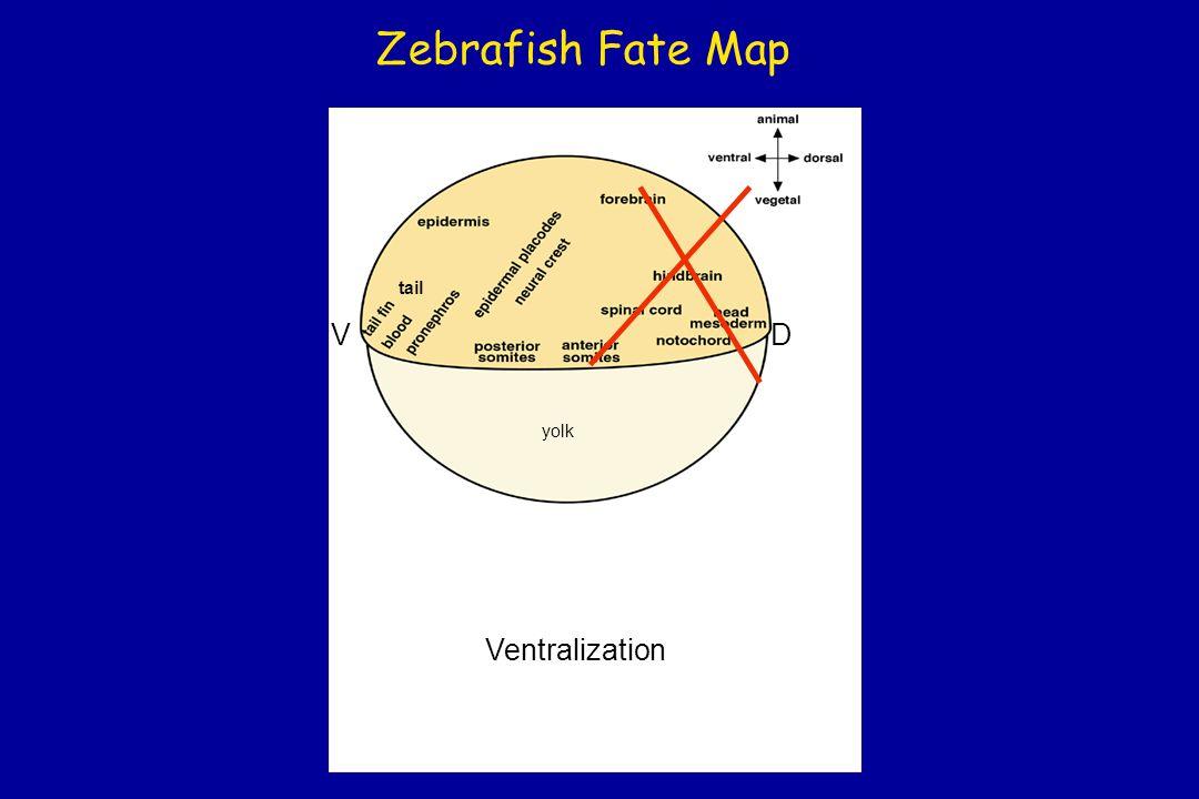 Zebrafish Fate Map tail DV yolk Ventralization