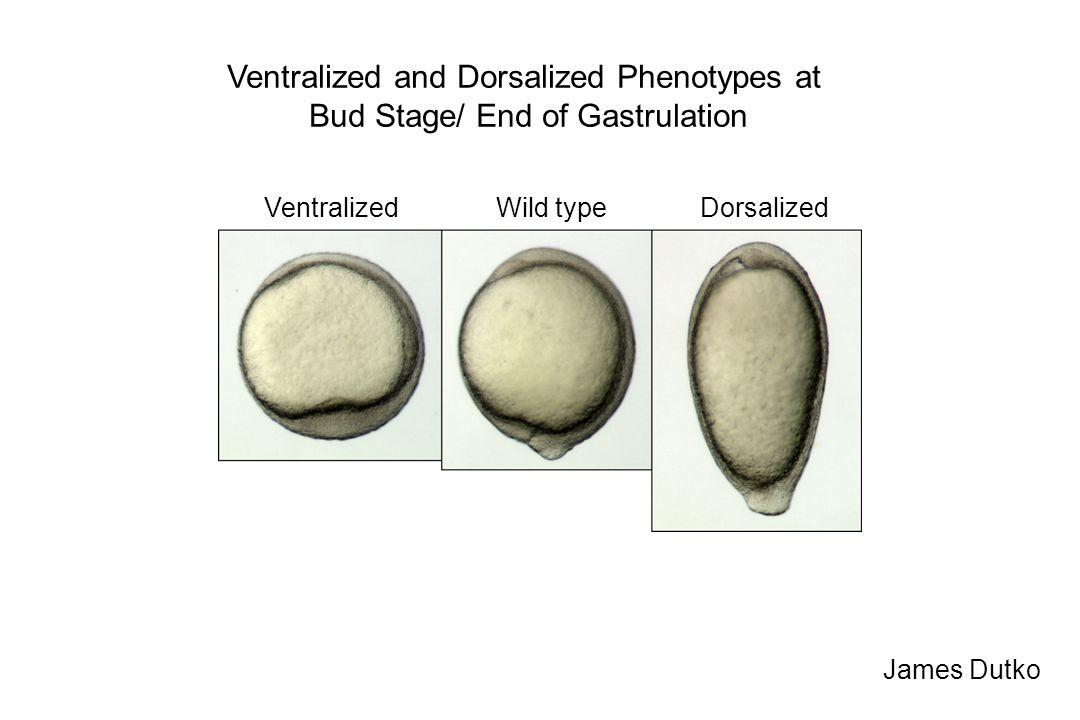 James Dutko Ventralized and Dorsalized Phenotypes at Bud Stage/ End of Gastrulation Wild typeVentralizedDorsalized