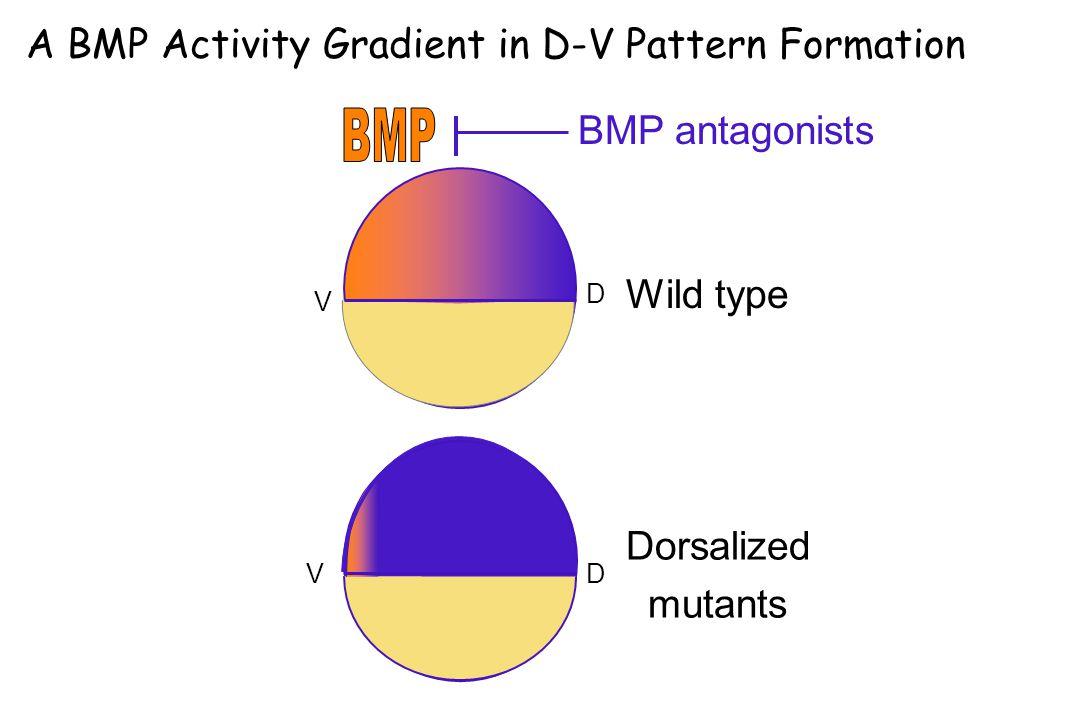 D D V V Wild type Dorsalized mutants BMP antagonists A BMP Activity Gradient in D-V Pattern Formation