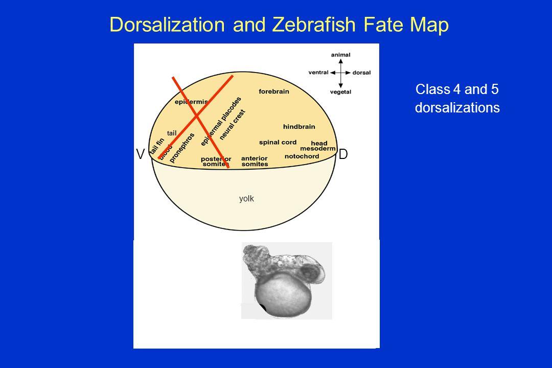 Dorsalization and Zebrafish Fate Map tail DV yolk Class 4 and 5 dorsalizations