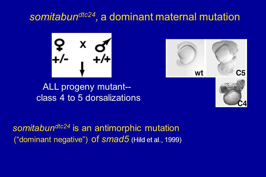 + ALL progeny mutant-- class 4 to 5 dorsalizations somitabun dtc24, a dominant maternal mutation somitabun dtc24 is an antimorphic mutation (dominant