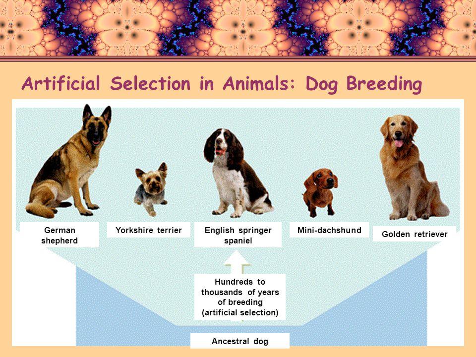 Artificial Selection in Animals: Dog Breeding German shepherd Yorkshire terrierEnglish springer spaniel Mini-dachshund Golden retriever Hundreds to th