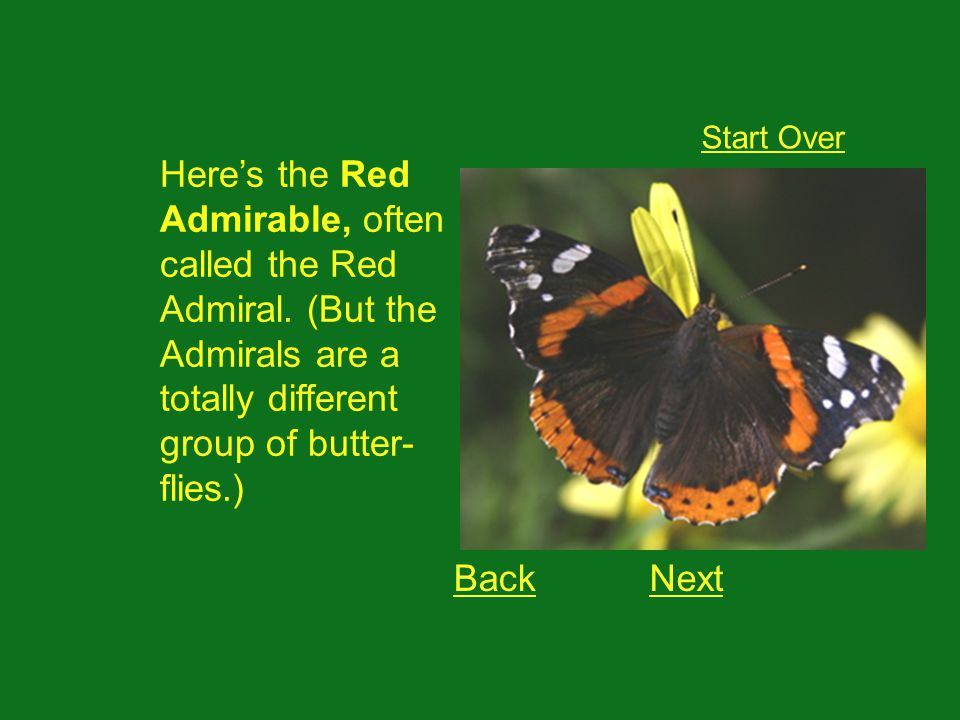 Heres the Red Admirable, often called the Red Admiral.