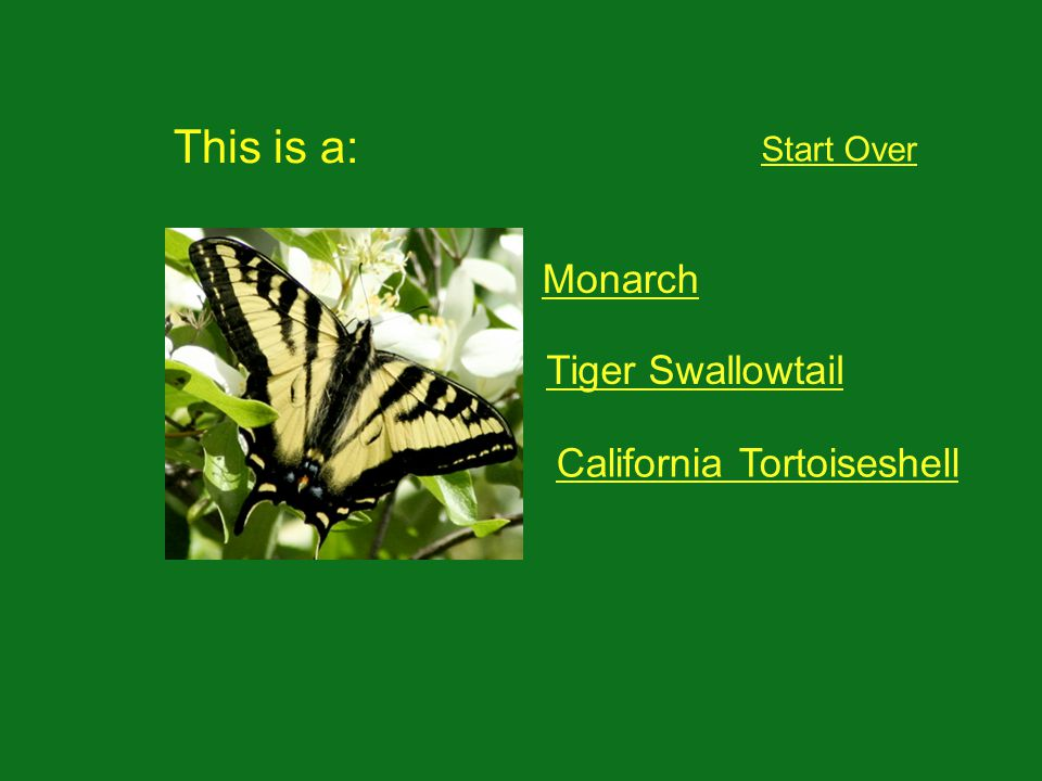 This is a: Start Over Monarch Tiger Swallowtail California Tortoiseshell