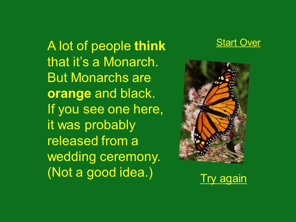 A lot of people think that its a Monarch. But Monarchs are orange and black.