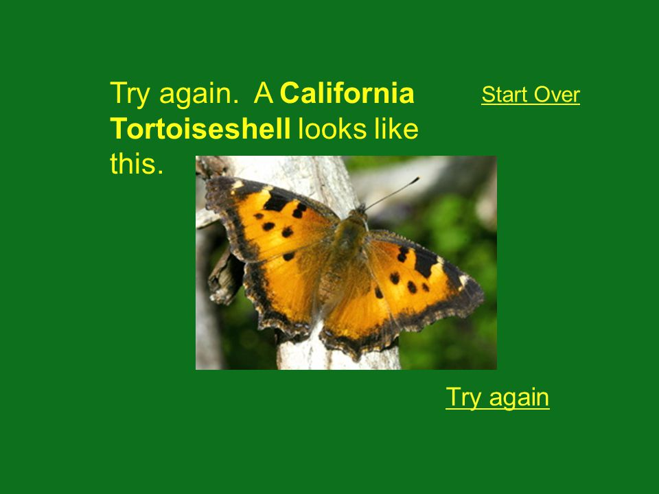 Try again. A California Tortoiseshell looks like this. Try again Start Over