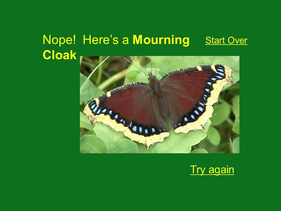 Nope! Heres a Mourning Cloak Try again Start Over