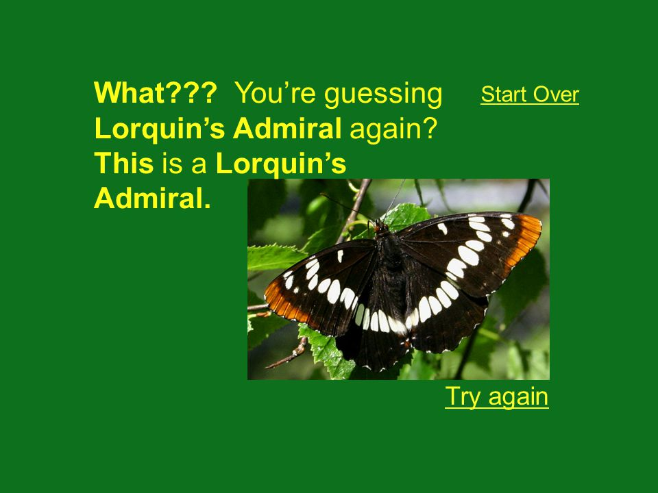 Try again Start Over What??? Youre guessing Lorquins Admiral again? This is a Lorquins Admiral.
