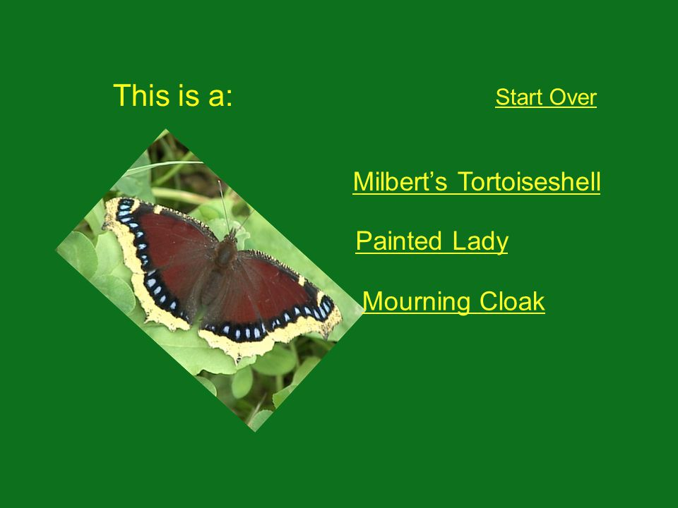 This is a: Start Over Milberts Tortoiseshell Painted Lady Mourning Cloak