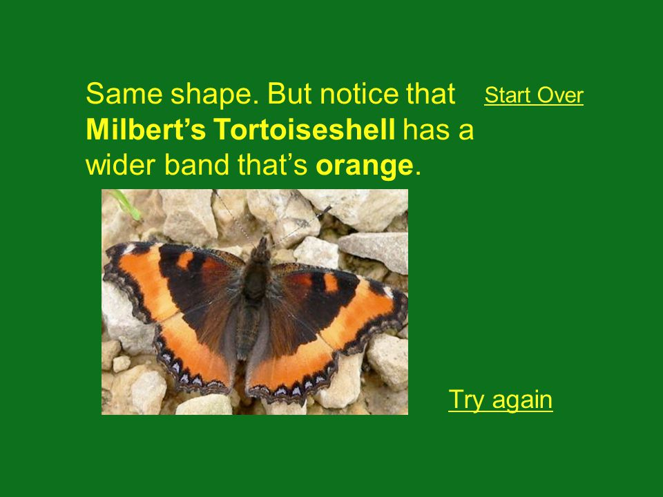 Same shape. But notice that Milberts Tortoiseshell has a wider band thats orange.