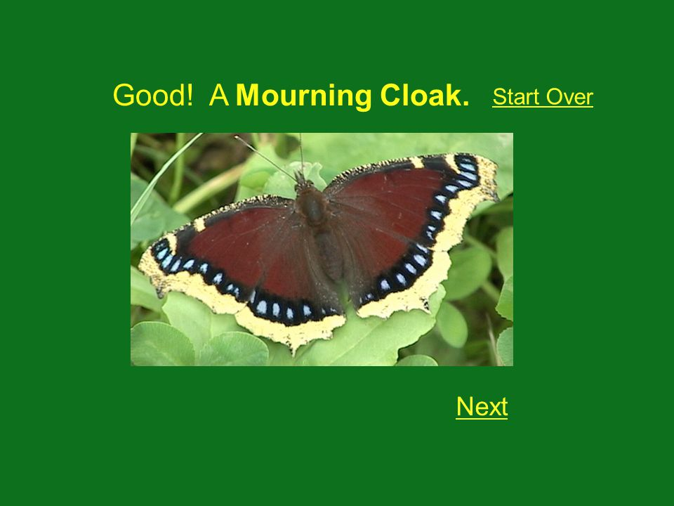 Good! A Mourning Cloak. Next Start Over