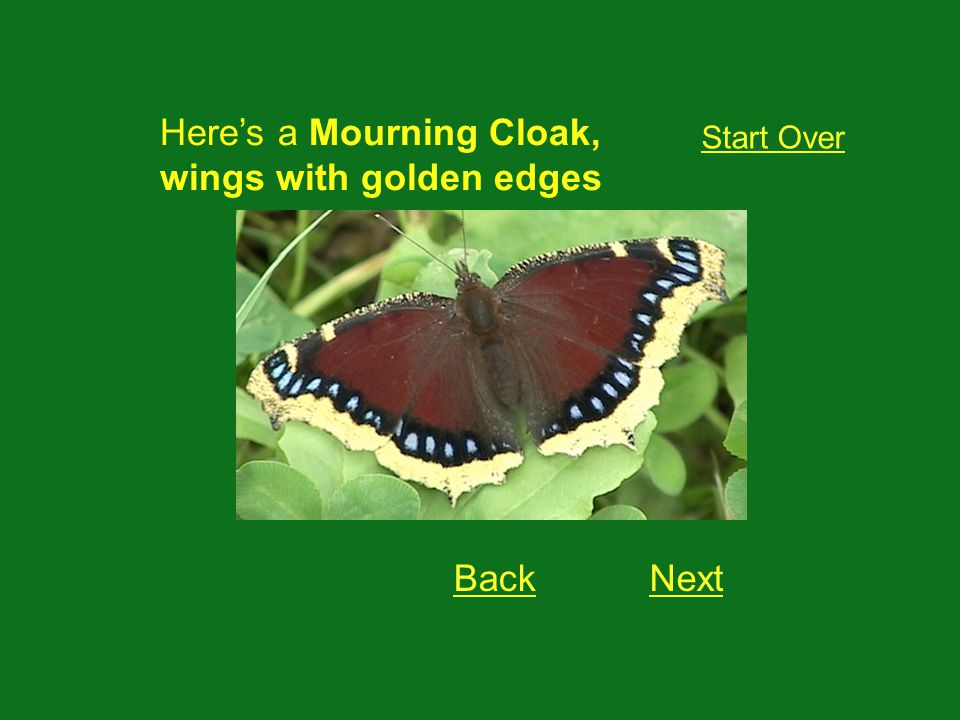 This is a: Start Over Mourning Cloak Lorquins Admiral Red Admirable