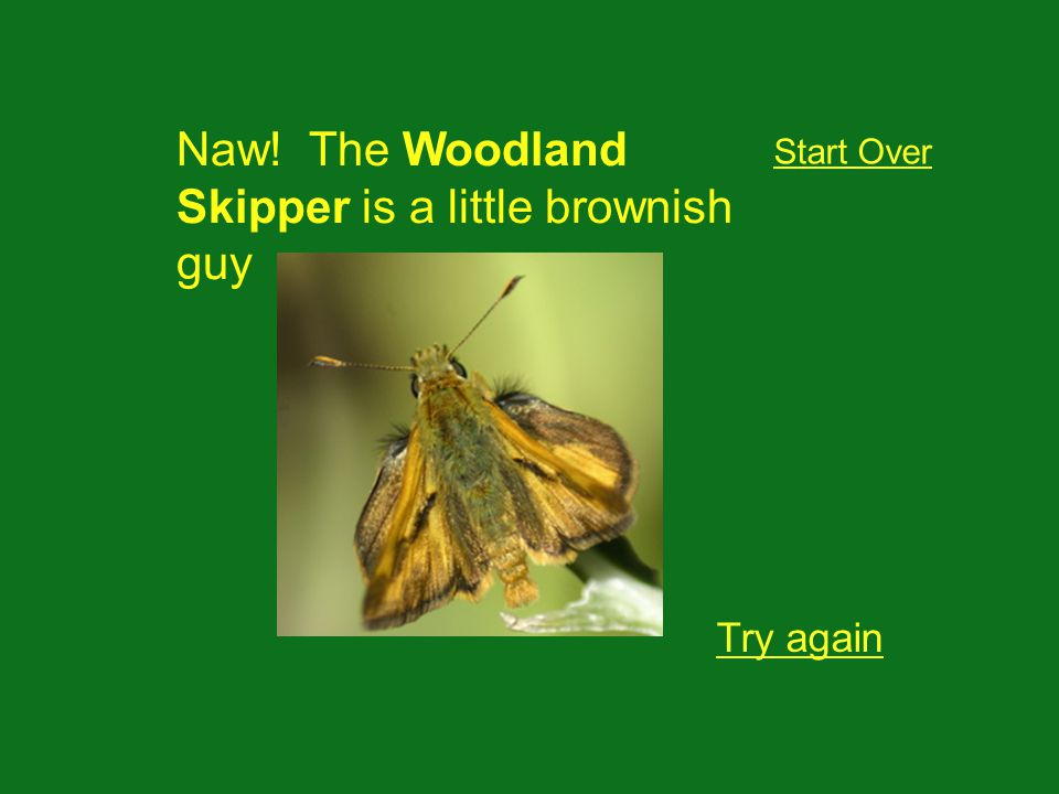 Naw! The Woodland Skipper is a little brownish guy Try again Start Over