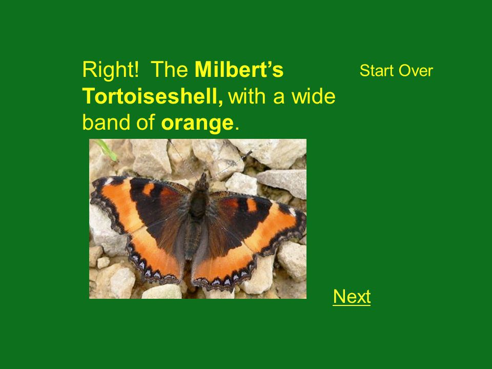 Right! The Milberts Tortoiseshell, with a wide band of orange. Next Start Over