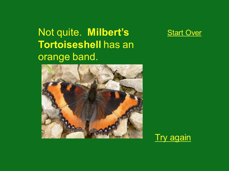 Not quite. Milberts Tortoiseshell has an orange band. Try again Start Over